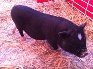 Cut Little Piggy At The County Fair