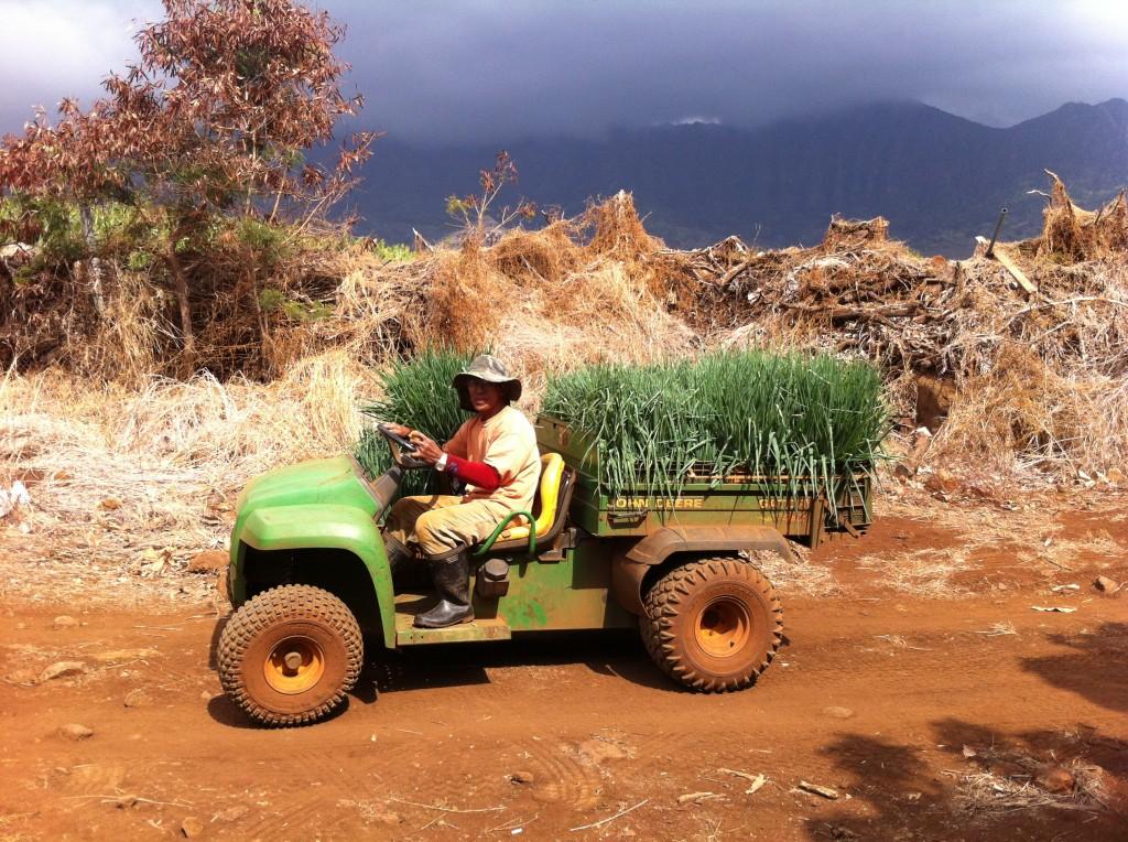 Green Onion Farmer In Hawaii, Waianae