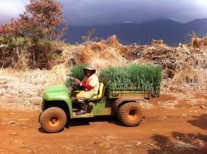 Green Onion Farmer In Hawaii