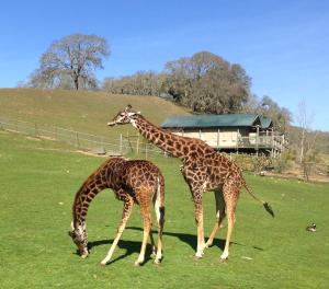 Happy giraffes grazing in the field