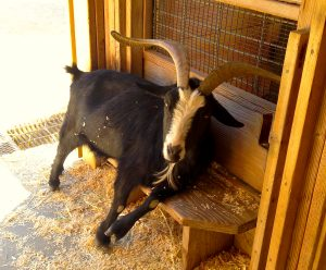 A tired and exhausted goat resting on a bench