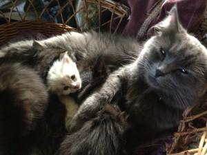 Young Siberian Kitties