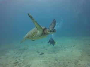 Scuba diving with sea turtle in Hawaii